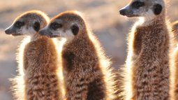 Klinky et les suricates du kalahari en streaming