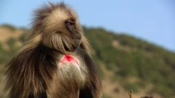 Le roi des singes d'ethiopie en streaming