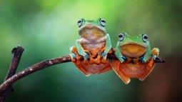 La fête de la grenouille en streaming