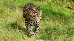 Jaguars en danger en streaming